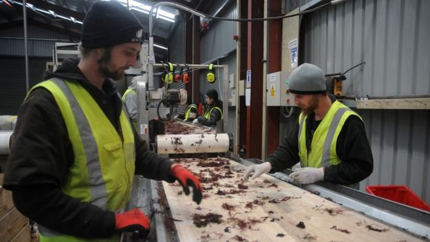 Dominion Post: 16 August, 2016 - Scientific Seaweed Changing Lives in Wairarapa