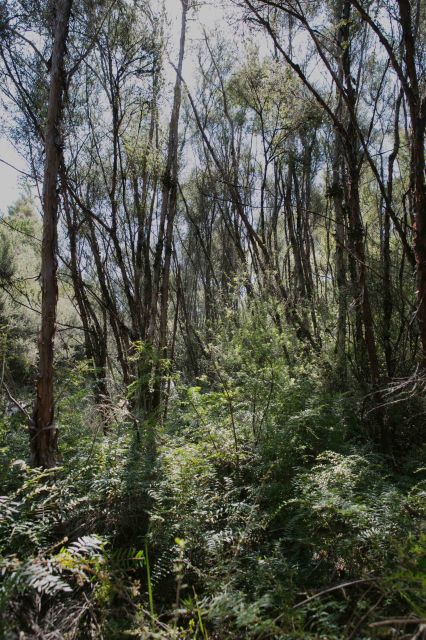 Mānuka trees face serious threat to survival